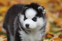 Chiots Siberian Husky