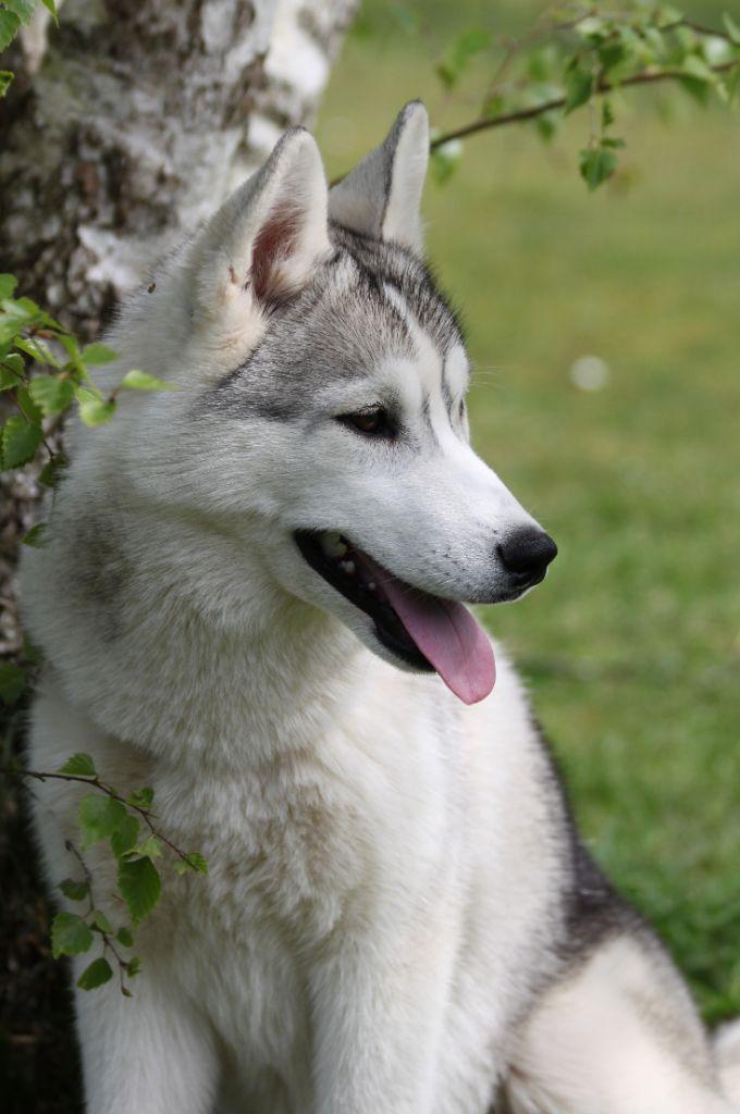 d'Isarudy - Chiot disponible  - Siberian Husky