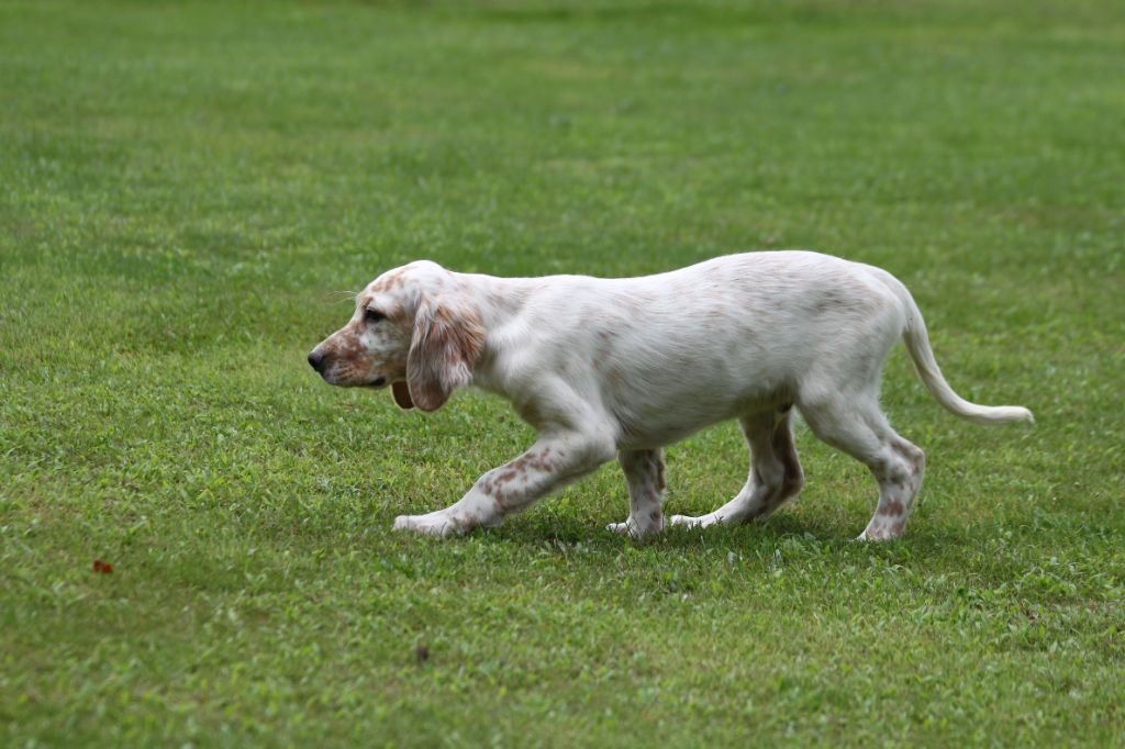 Chiot - Elevage d'Isarudy - eleveur de chiens Setter anglais