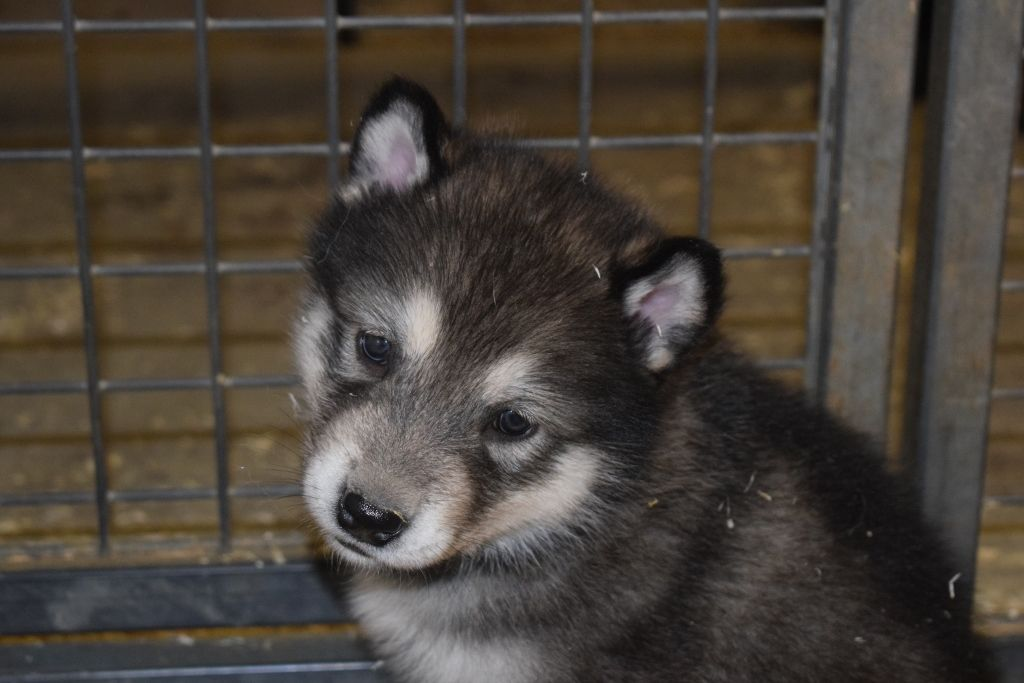 of Edelweiss Forever - Chiot disponible  - Alaskan Malamute