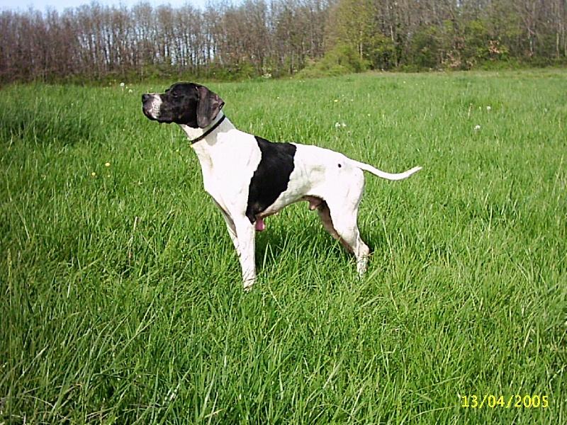Accueil - Elevage du Gouyre - eleveur de chiens Pointer