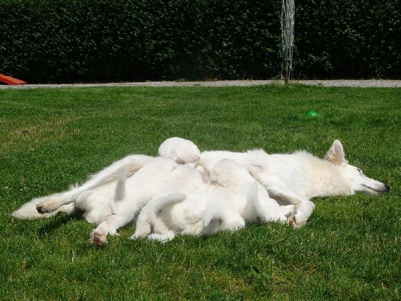 des Ecuries du Conti - Berger Blanc Suisse - Portée née le 10/06/2012