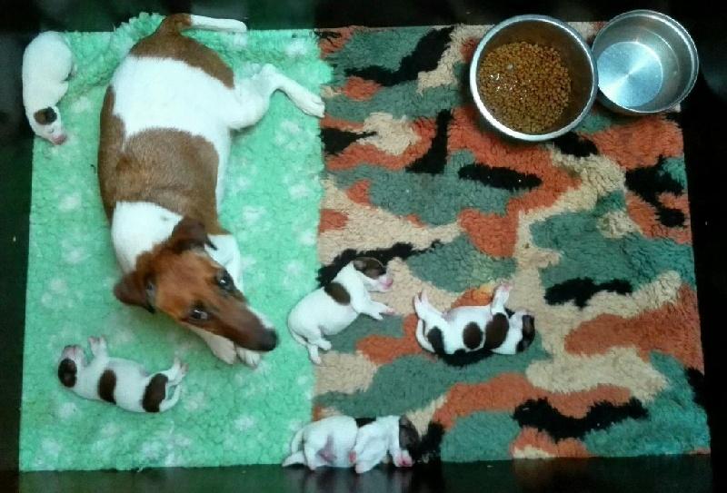 chiot Fox Terrier Poil lisse de la Pierre Rare