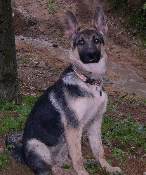 http://www.chiens-de-france.com/photo/eleveurs/78/15417/album/4336b6ff-de2a-7594-ad40-d009a50cfe4f.jpg