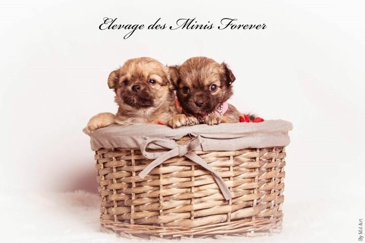 des Minis Forever - Chiot disponible  - Chihuahua