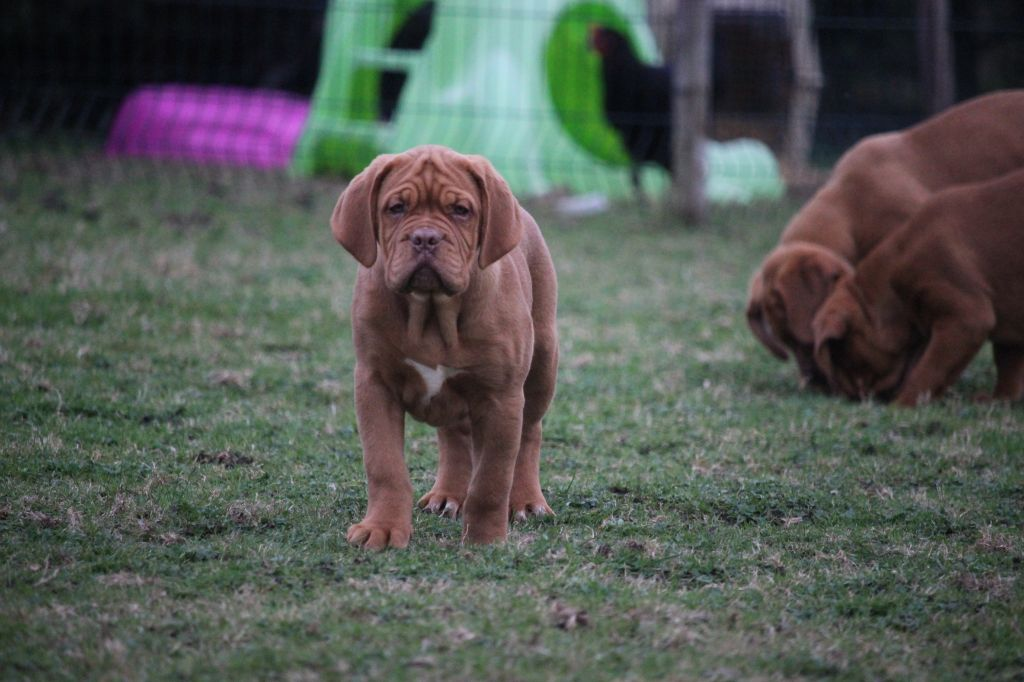 ORA - Dogue de Bordeaux