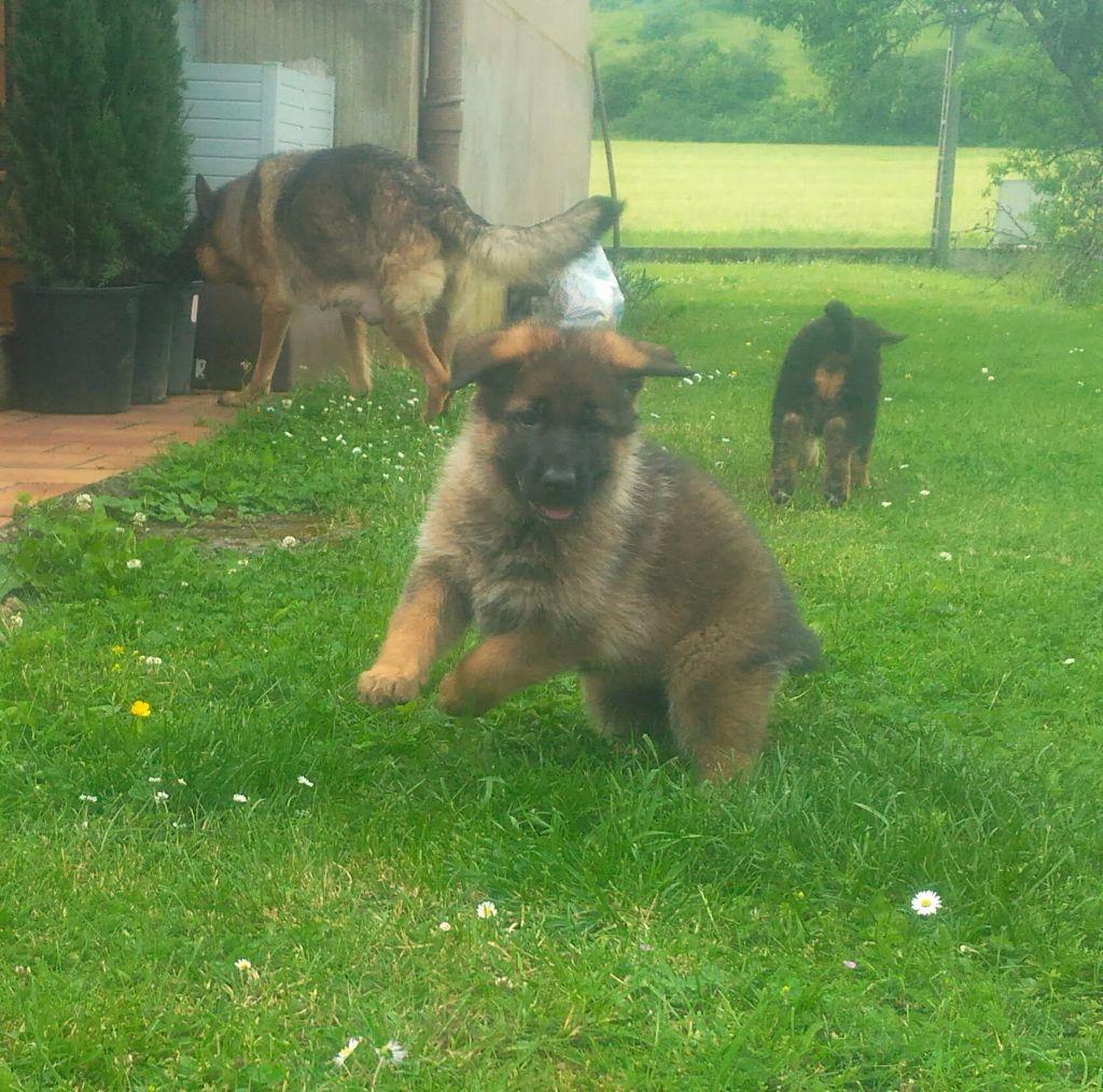 Chiot - Elevage du Sol Invictus - eleveur de chiens Berger allemand
