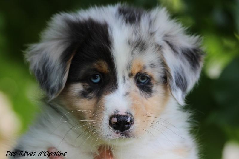Chiot elevage des r ves d 39 opaline eleveur de chiens berger australien - Image bebe chien ...