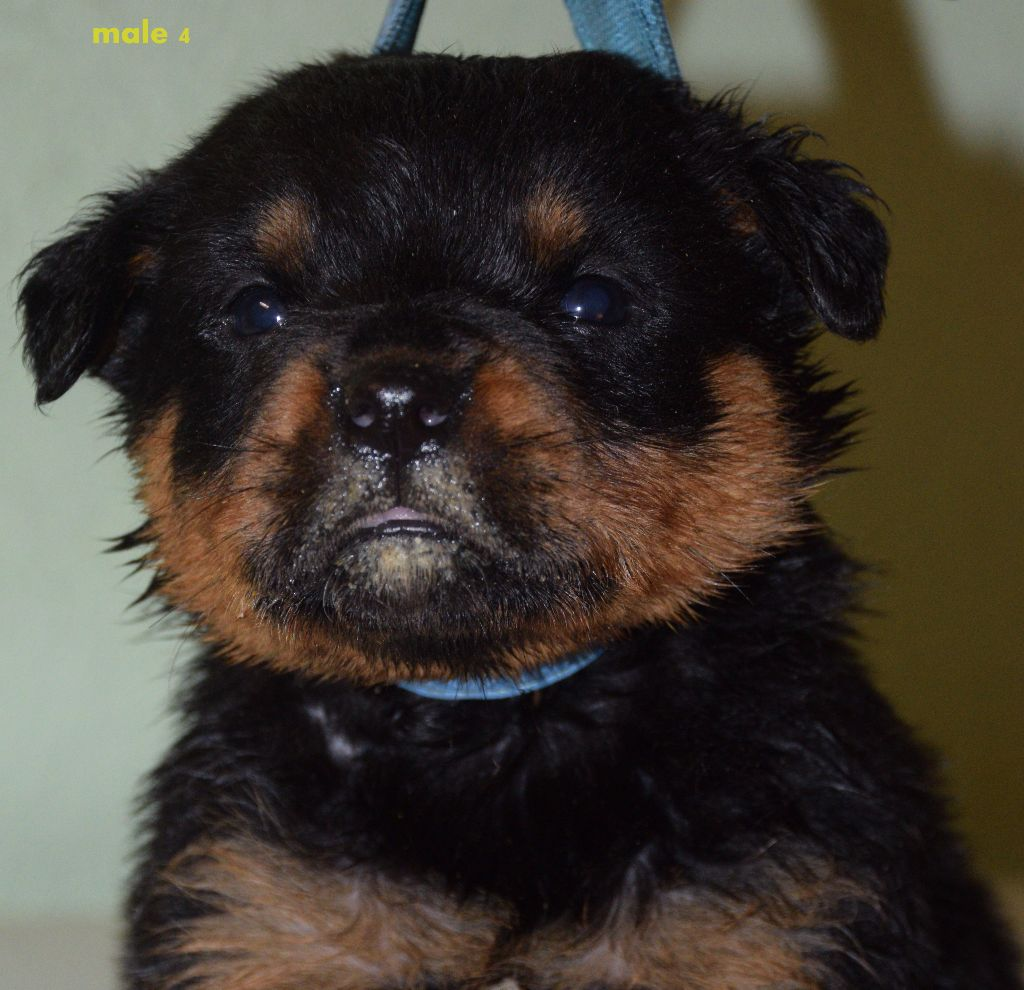 du domaine de Yunna - Chiot disponible  - Rottweiler