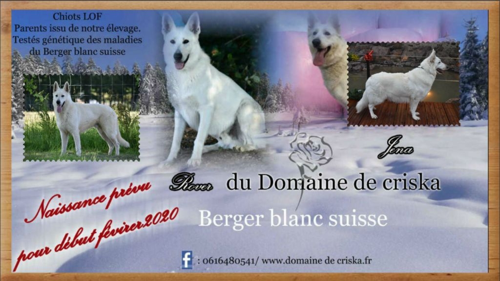 du Domaine de Criska - Berger Blanc Suisse - Portée née le 03/02/2020