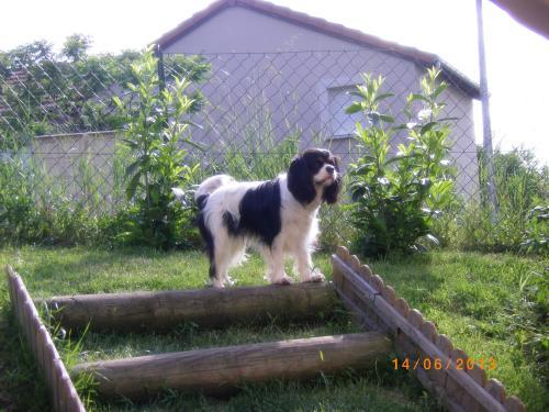 photo elevage du moulin de la terrasse eleveur de chiens cavalier king charles spaniel. Black Bedroom Furniture Sets. Home Design Ideas