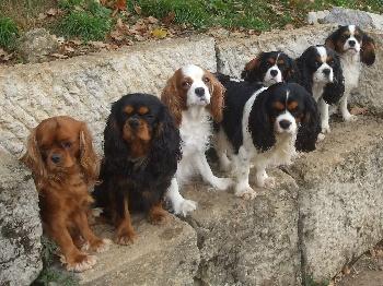 Accueil elevage des roches d 39 orvaz eleveur de chiens cavalier king charles spaniel - Chiot cavalier king charles gratuit ...