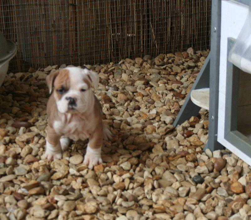 du clos des Obiers - Chiot disponible  - Bulldog continental