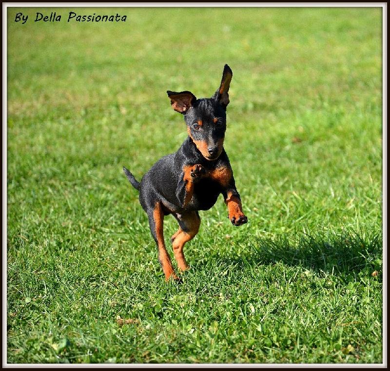 Chiot - Elevage Della Passionata - eleveur de chiens