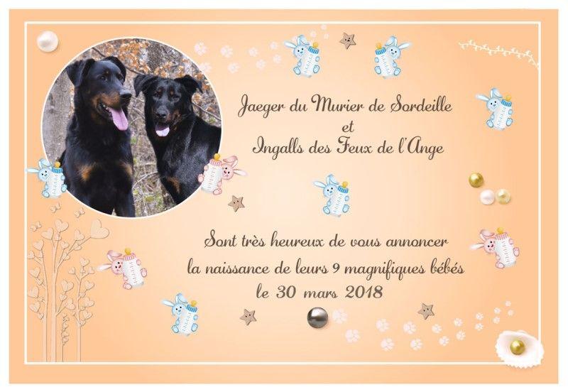 du Fond des Camps - Berger de Beauce - Portée née le 30/03/2018