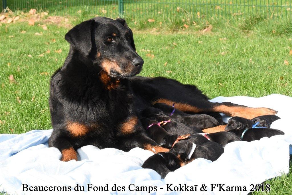 du Fond des Camps - Chiot disponible  - Berger de Beauce