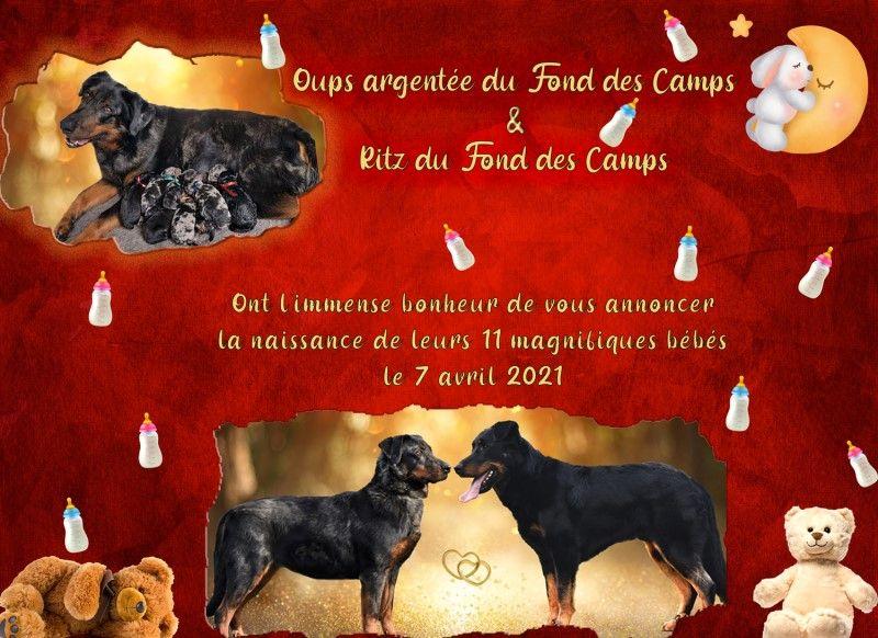 du Fond des Camps - Berger de Beauce - Portée née le 07/04/2021