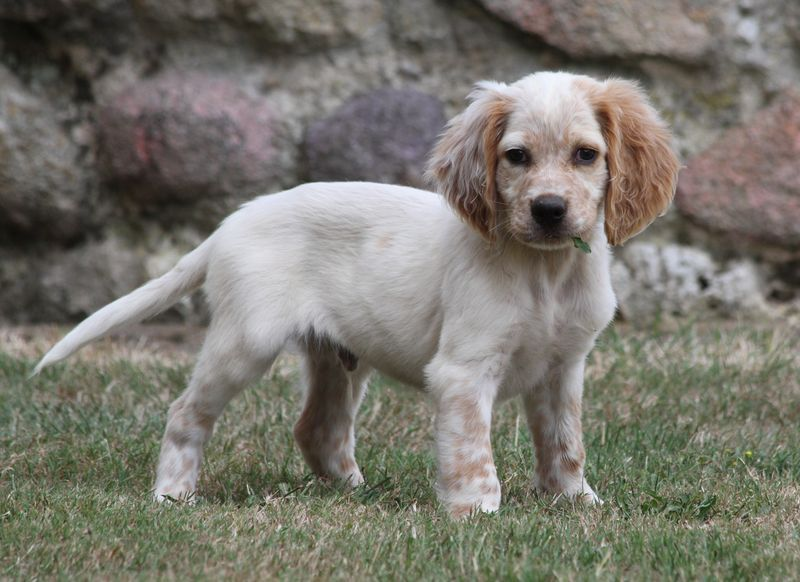 of Glen Sheallag - Chiot disponible  - Setter anglais