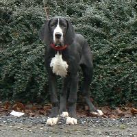 Dazelia - Dogue allemand - Portée née le 21/08/2008