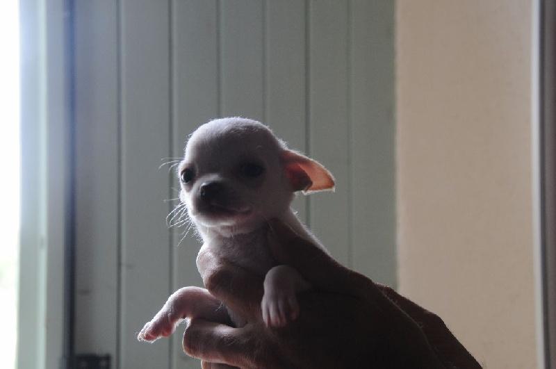 de l'Echappée Belle - Chiot disponible  - Chihuahua