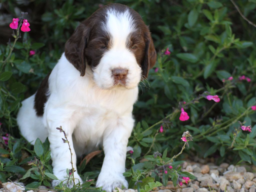 in Shade of Pure - Chiot disponible  - English Springer Spaniel
