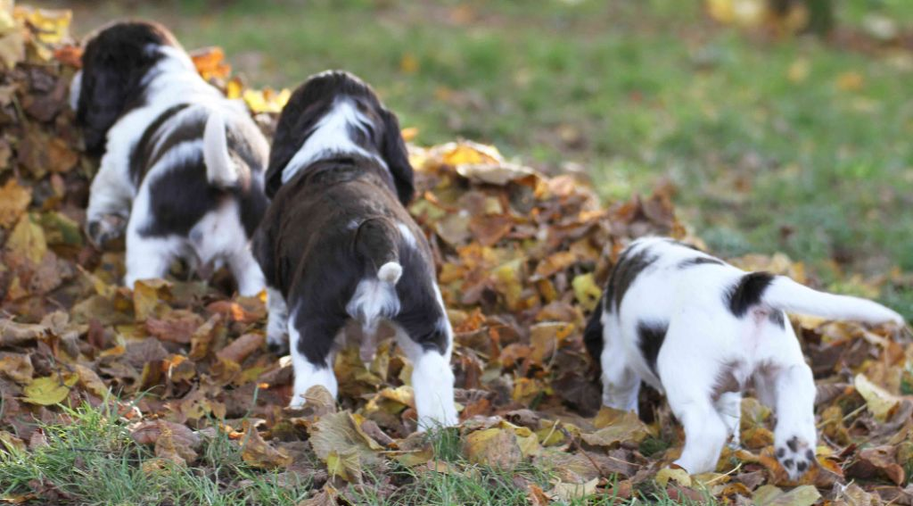 in Shade of Pure - English Springer Spaniel - Portée née le 23/10/2019