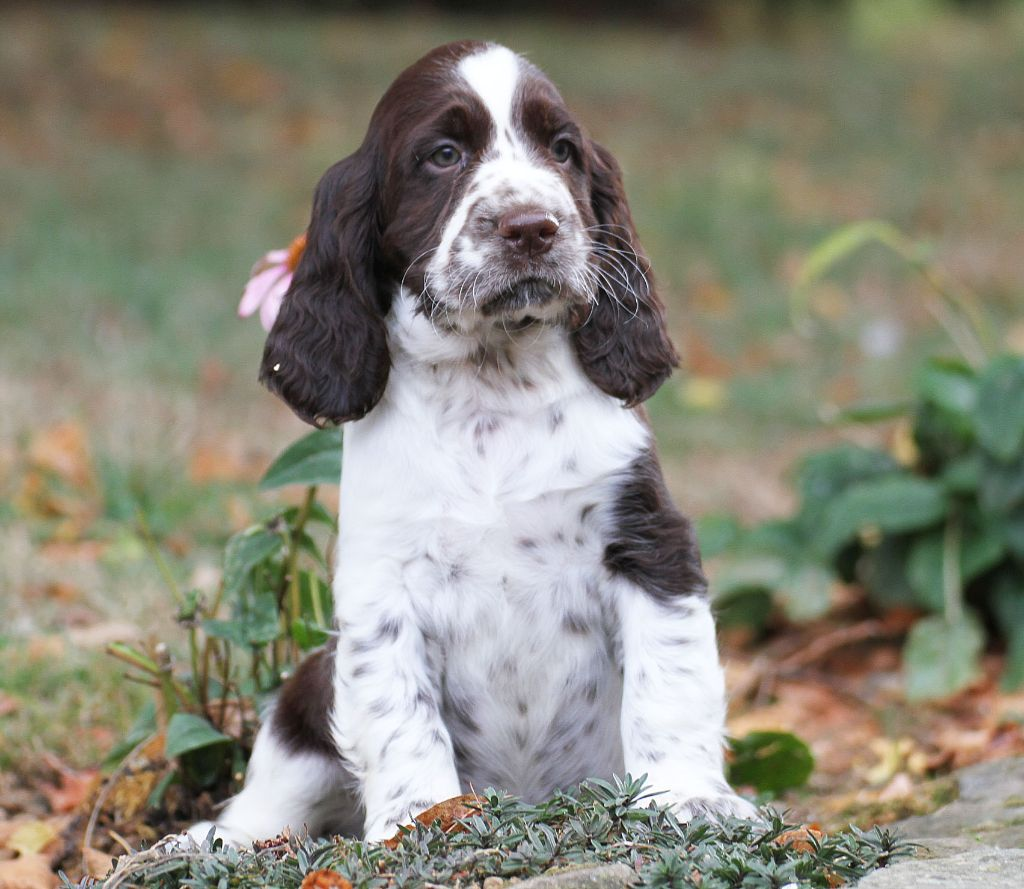 in Shade of Pure - English Springer Spaniel - Portée née le 20/08/2018
