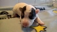 Parson Russell Terrier - de l'Eden des Emeraudes