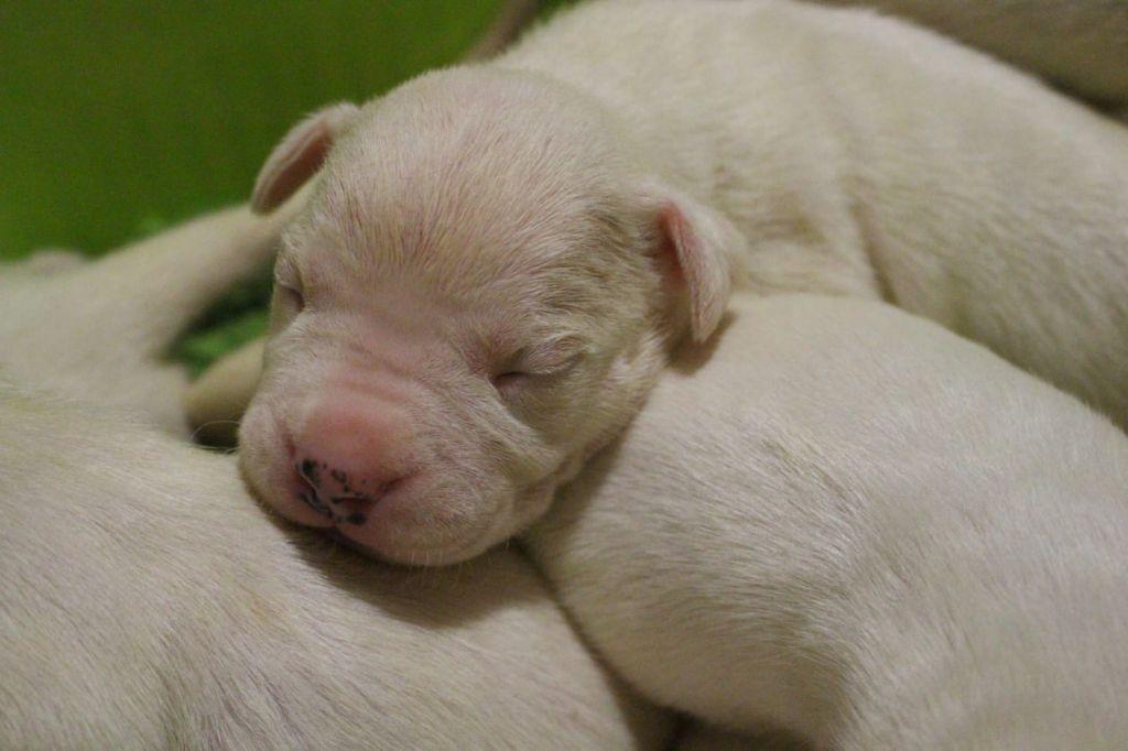don Dogo de la Bahia Blanca - Chiot disponible  - Dogo Argentino