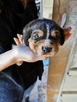Beagle - Chiots Beagles lof grandes origines  - de Hexmes