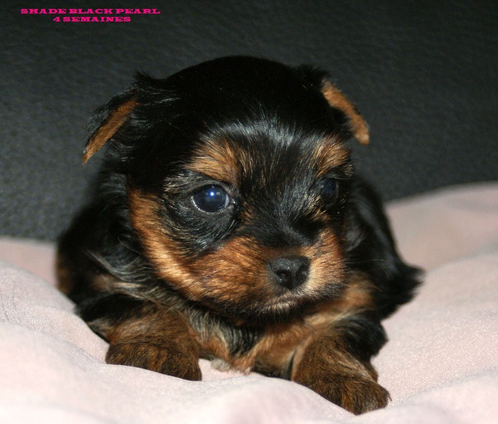 of American Feeling - Chiot disponible  - Yorkshire Terrier