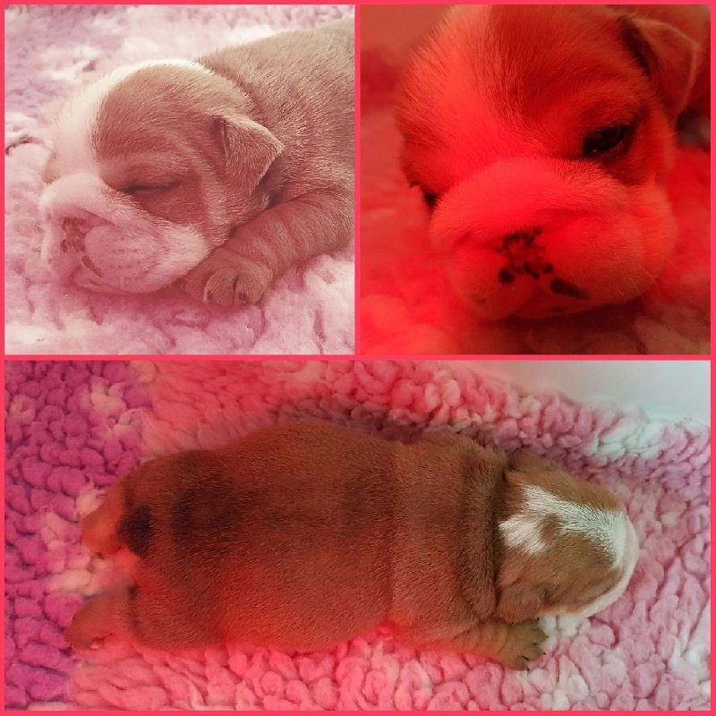 King of Magic Bull - Chiot disponible  - Bulldog Anglais