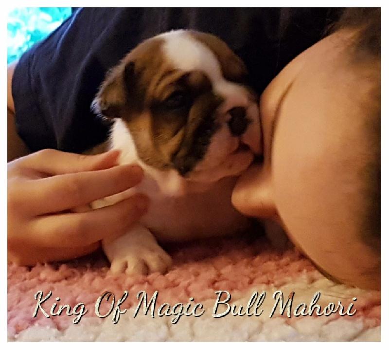 King of Magic Bull - Chiot disponible  - Bulldog Anglais