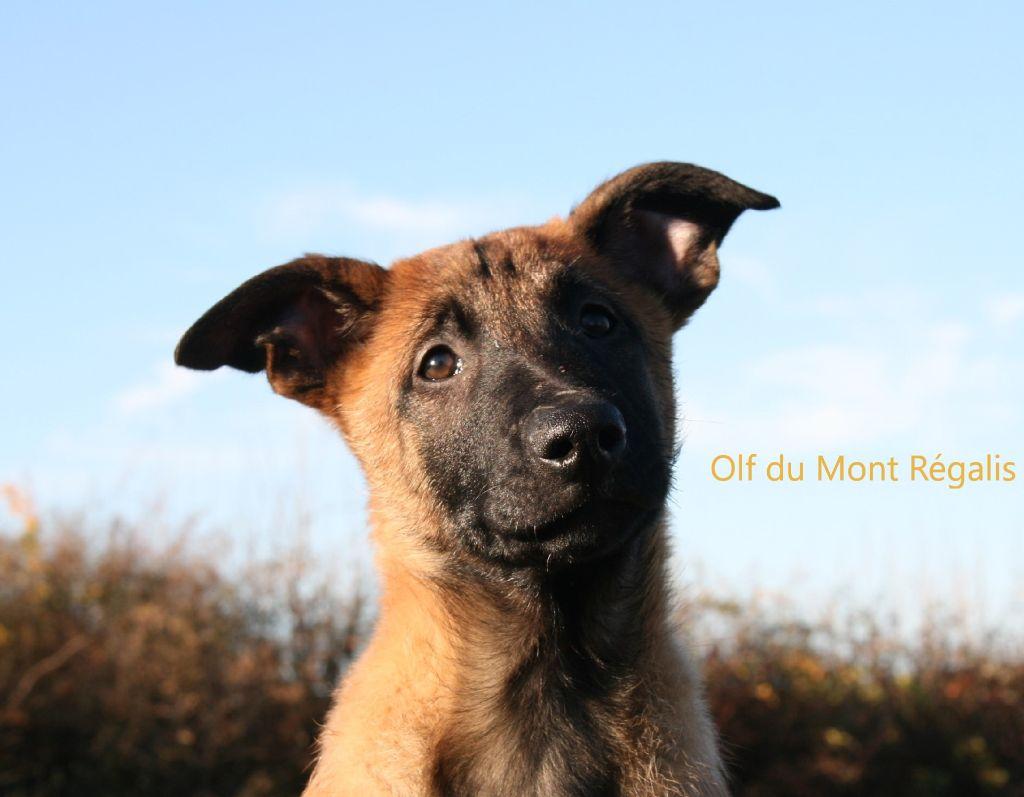 du Mont Regalis - Chiot disponible  - Berger Belge