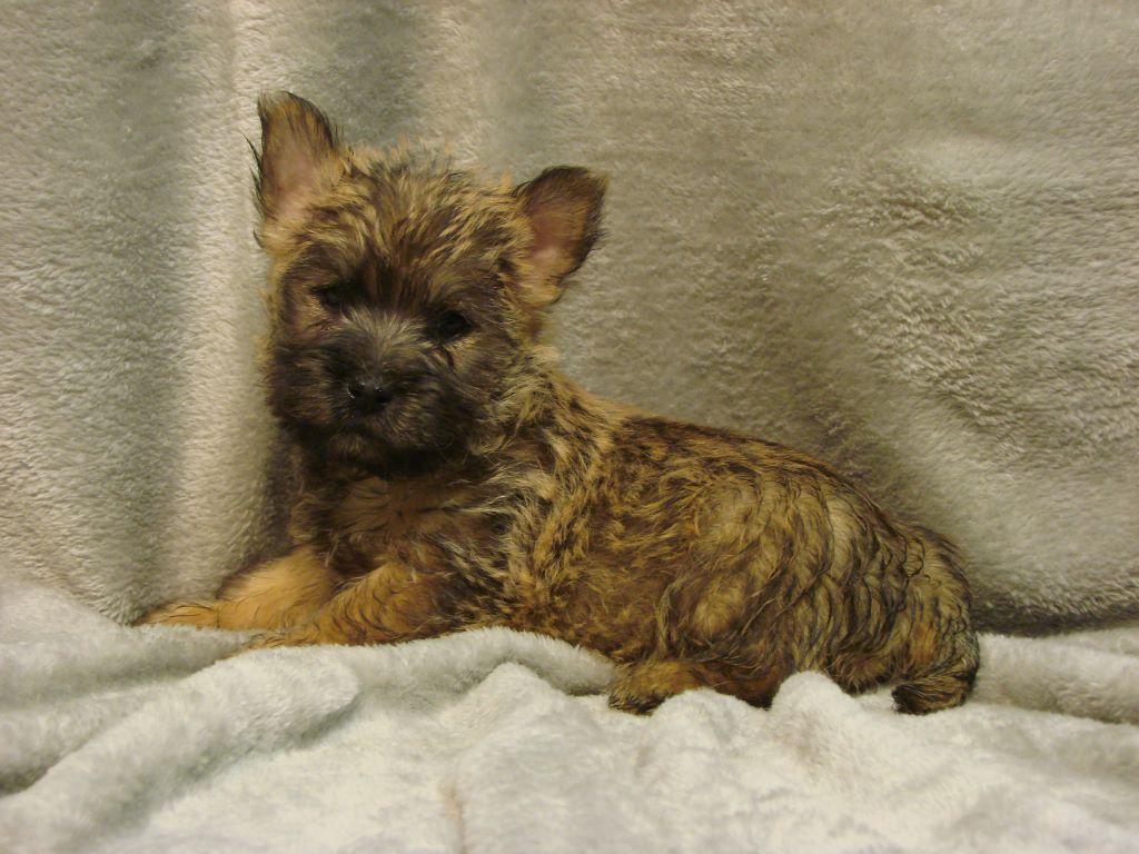 Accueil Elevage Du Fond De La Chenaie Eleveur De Chiens Cairn Terrier