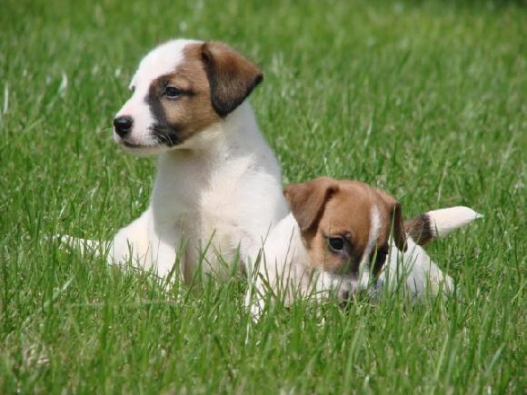 Accueil elevage du fond de la chenaie eleveur de chiens jack russell terrier - Jack russel queue coupee ...