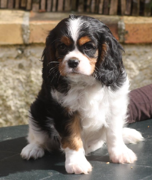 Cherche cavalier king charles adulte