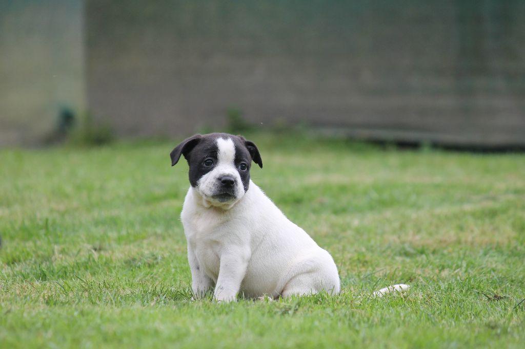 FEMELLE BLANCHE 2 - Staffordshire Bull Terrier