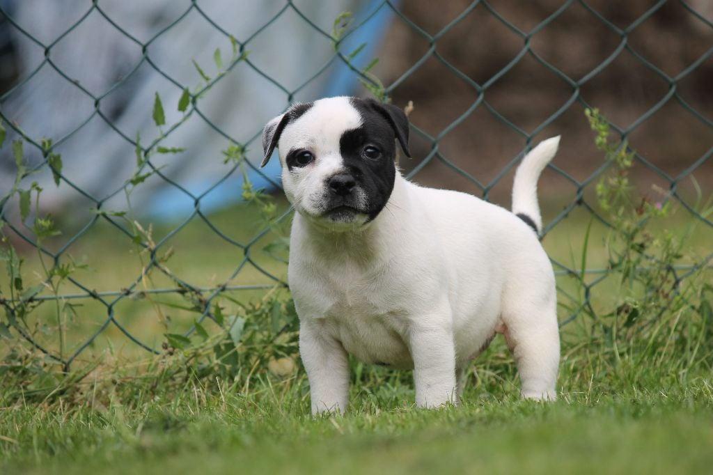 FEMELLE BLANCHE 1 - Staffordshire Bull Terrier
