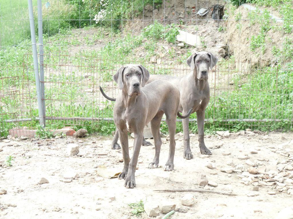 du domaine des Apollons - Dogue allemand - Portée née le 28/09/2017