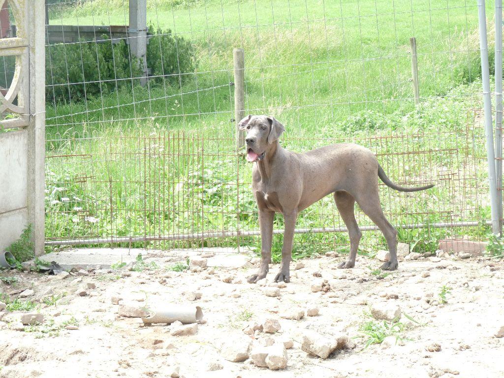 du domaine des Apollons - Chiot disponible  - Dogue allemand