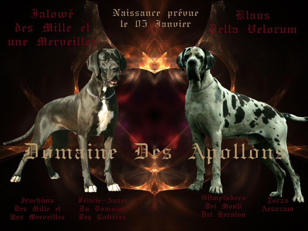 du domaine des Apollons - Dogue allemand - Portée née le 03/01/2019