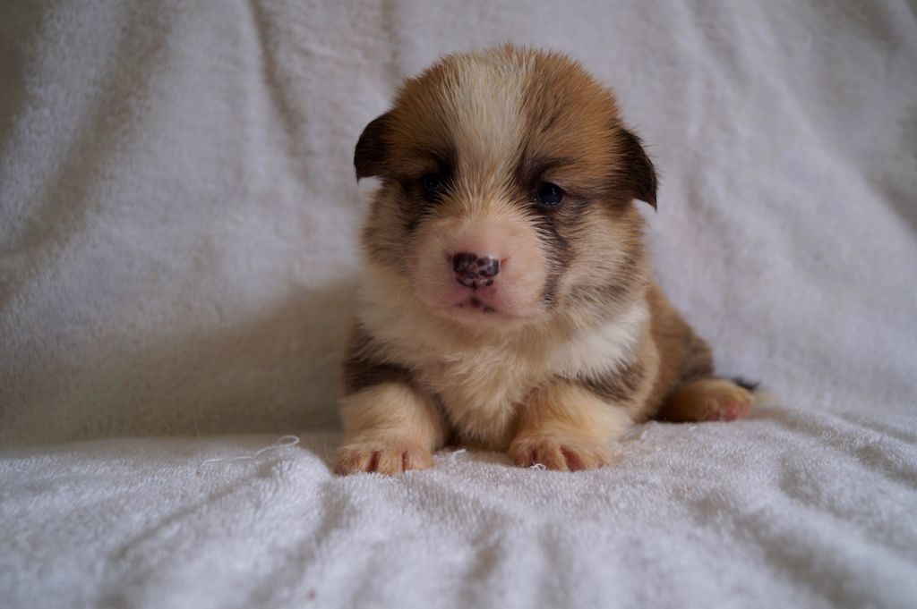 Orikin's - Chiot disponible  - Welsh Corgi Pembroke