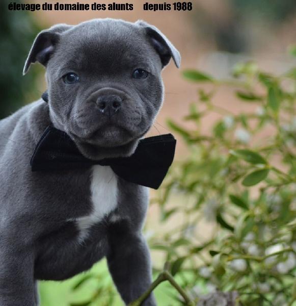 Accueil Elevage Du Domaine Des Alunts Eleveur De Staffordshire Bull Terrier Bleu Et Bouledogue Francais