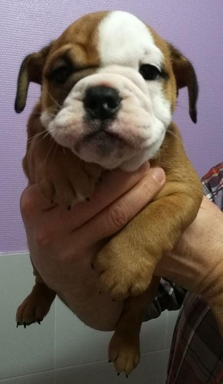 Tod's Bulldogs - Chiot disponible  - Bulldog Anglais