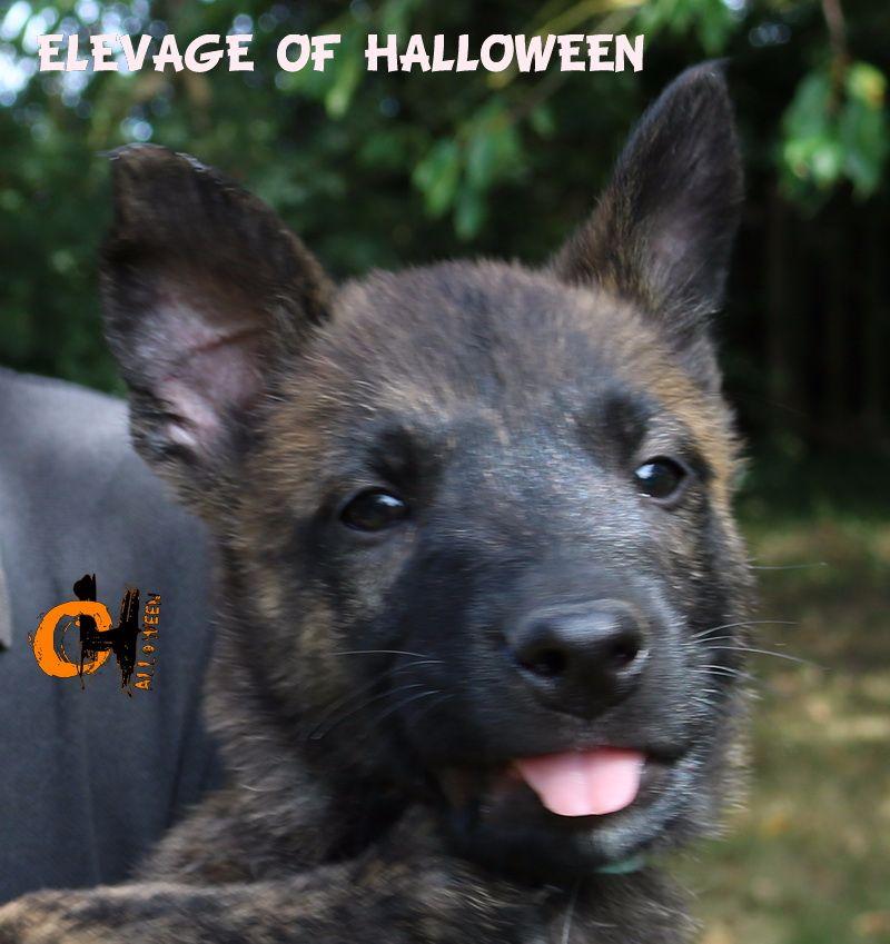of Halloween - Chiot disponible  - Berger hollandais