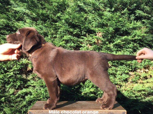 de la Plaine du Puy de Wolf - Chiot disponible  - Labrador Retriever
