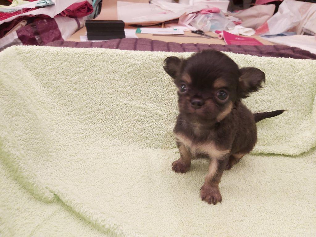 du Moulin de Kerliviry - Chiot disponible  - Chihuahua