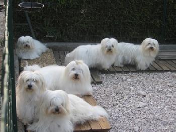 Elevage du miroir de galadriel eleveur de chiens coton for Miroir de galadriel