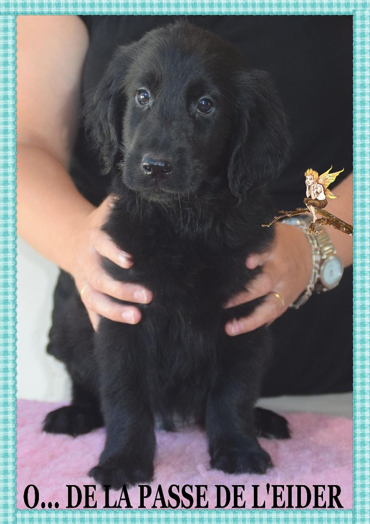 de la Passe de l'Eider - Chiot disponible  - Flat Coated Retriever